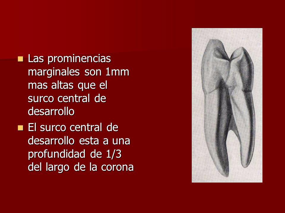 Las prominencias marginales son 1mm mas altas que el surco central de desarrollo Las prominencias marginales son 1mm mas altas que el surco central de