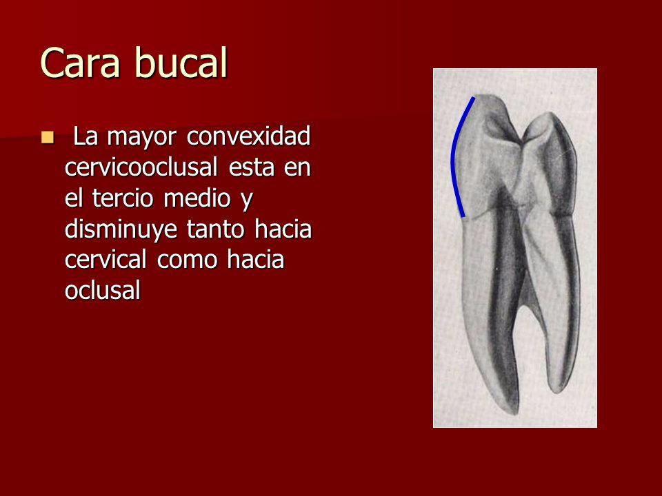 Cara bucal La mayor convexidad cervicooclusal esta en el tercio medio y disminuye tanto hacia cervical como hacia oclusal La mayor convexidad cervicooclusal esta en el tercio medio y disminuye tanto hacia cervical como hacia oclusal
