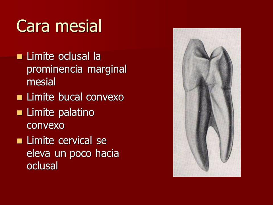 Cara mesial Limite oclusal la prominencia marginal mesial Limite oclusal la prominencia marginal mesial Limite bucal convexo Limite bucal convexo Limi
