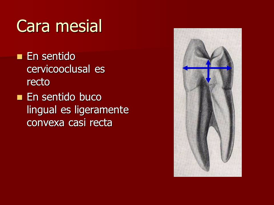 Cara mesial En sentido cervicooclusal es recto En sentido cervicooclusal es recto En sentido buco lingual es ligeramente convexa casi recta En sentido buco lingual es ligeramente convexa casi recta