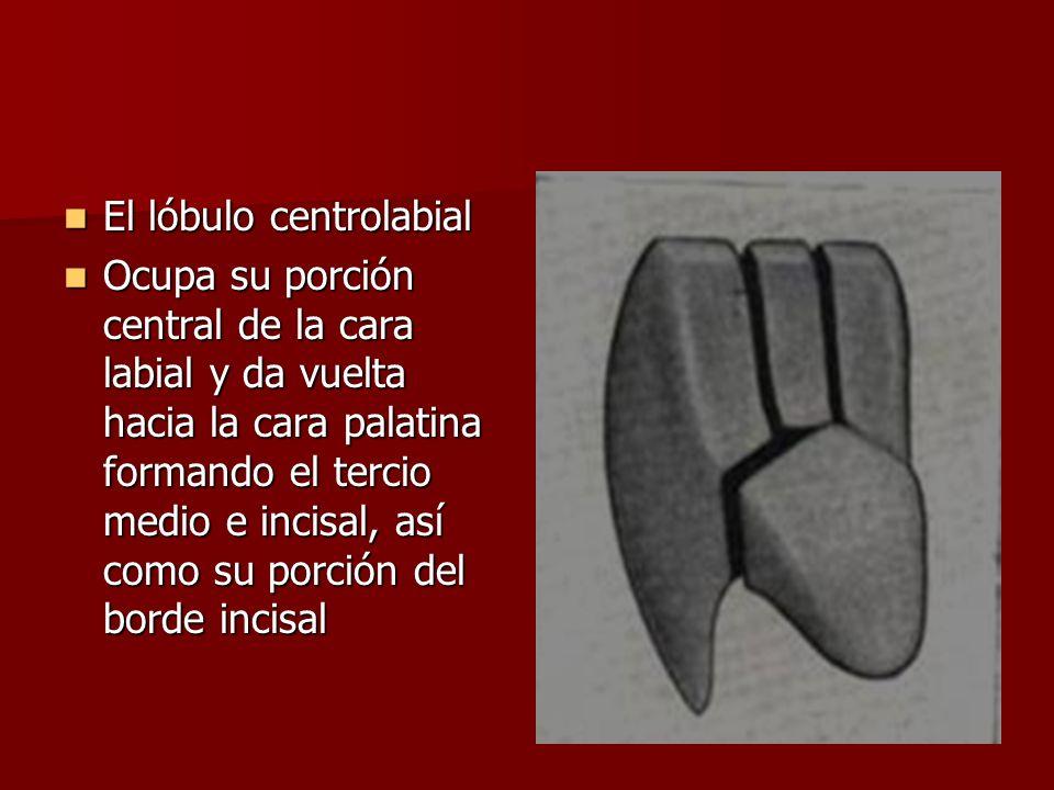 El lóbulo centrolabial El lóbulo centrolabial Ocupa su porción central de la cara labial y da vuelta hacia la cara palatina formando el tercio medio e