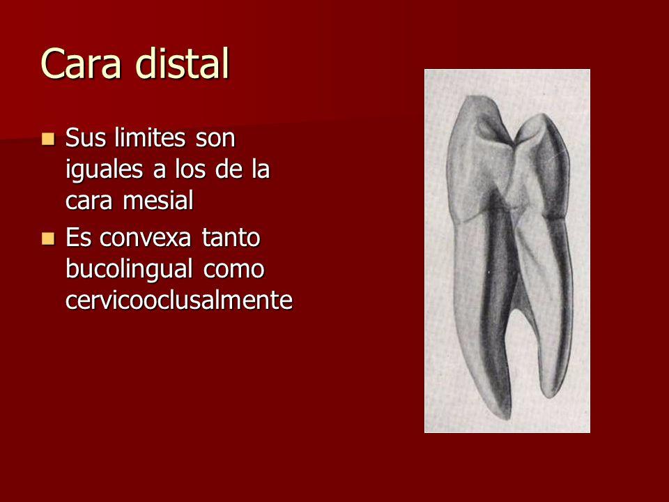 Cara distal Sus limites son iguales a los de la cara mesial Sus limites son iguales a los de la cara mesial Es convexa tanto bucolingual como cervicooclusalmente Es convexa tanto bucolingual como cervicooclusalmente