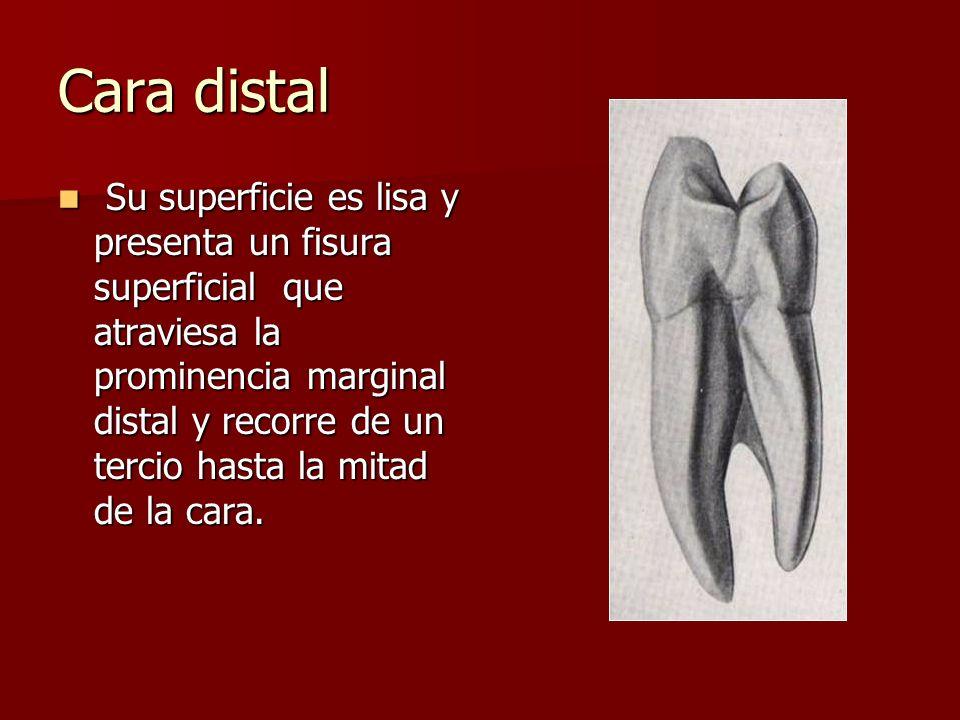 Cara distal Su superficie es lisa y presenta un fisura superficial que atraviesa la prominencia marginal distal y recorre de un tercio hasta la mitad de la cara.