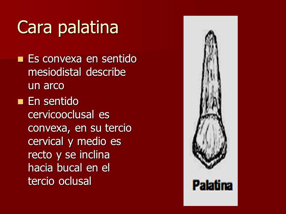 Cara palatina Es convexa en sentido mesiodistal describe un arco Es convexa en sentido mesiodistal describe un arco En sentido cervicooclusal es conve