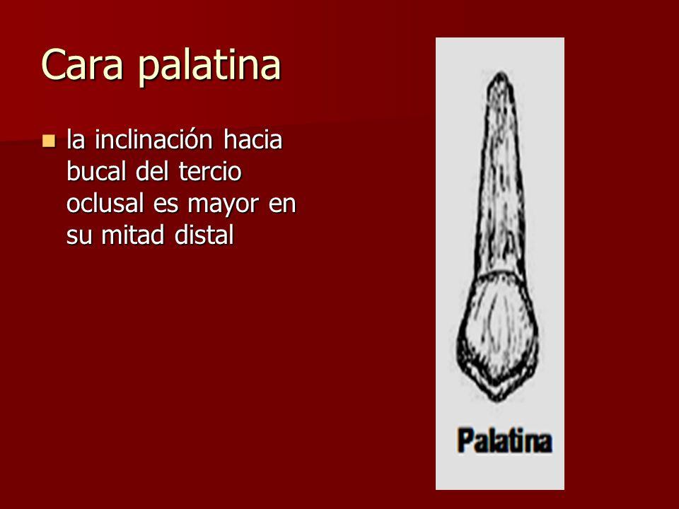 Cara palatina la inclinación hacia bucal del tercio oclusal es mayor en su mitad distal la inclinación hacia bucal del tercio oclusal es mayor en su mitad distal