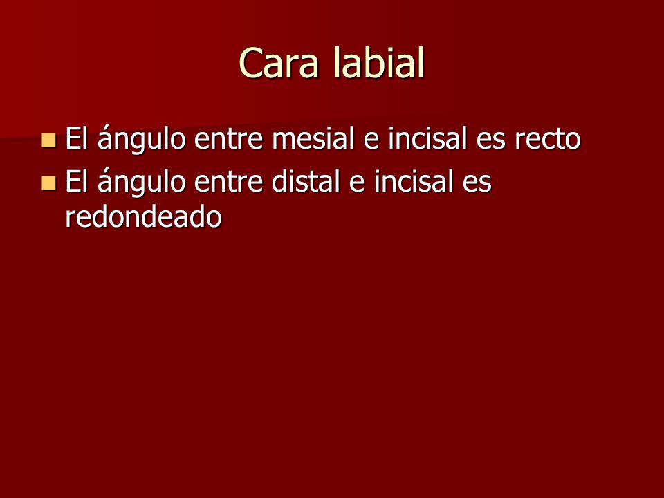 Cara labial El ángulo entre mesial e incisal es recto El ángulo entre mesial e incisal es recto El ángulo entre distal e incisal es redondeado El ángulo entre distal e incisal es redondeado