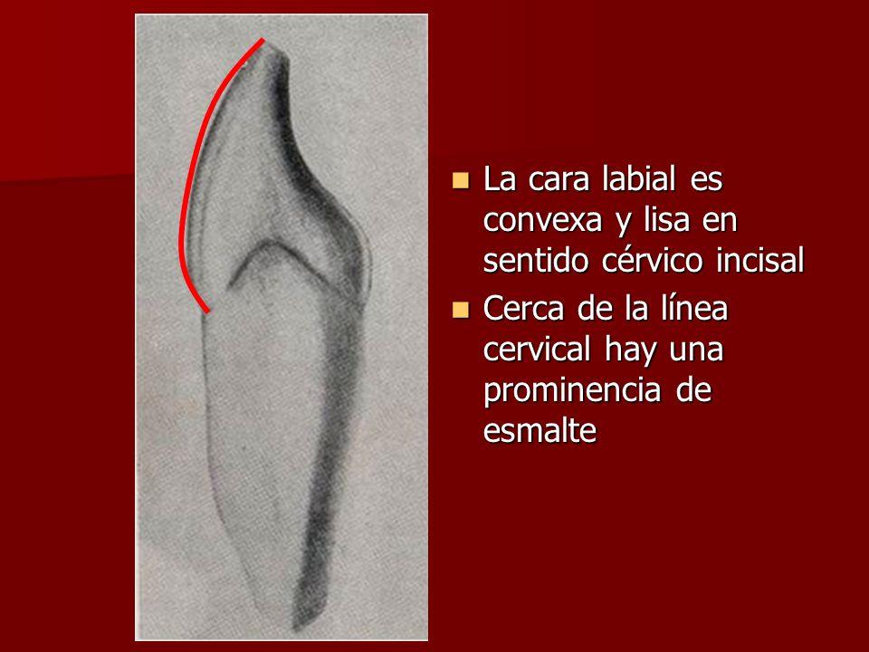 La cara labial es convexa y lisa en sentido cérvico incisal La cara labial es convexa y lisa en sentido cérvico incisal Cerca de la línea cervical hay una prominencia de esmalte Cerca de la línea cervical hay una prominencia de esmalte