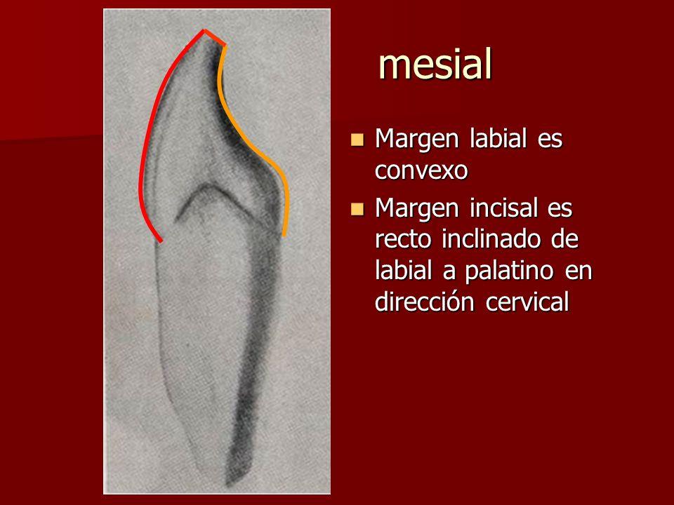 mesial Margen labial es convexo Margen labial es convexo Margen incisal es recto inclinado de labial a palatino en dirección cervical Margen incisal e