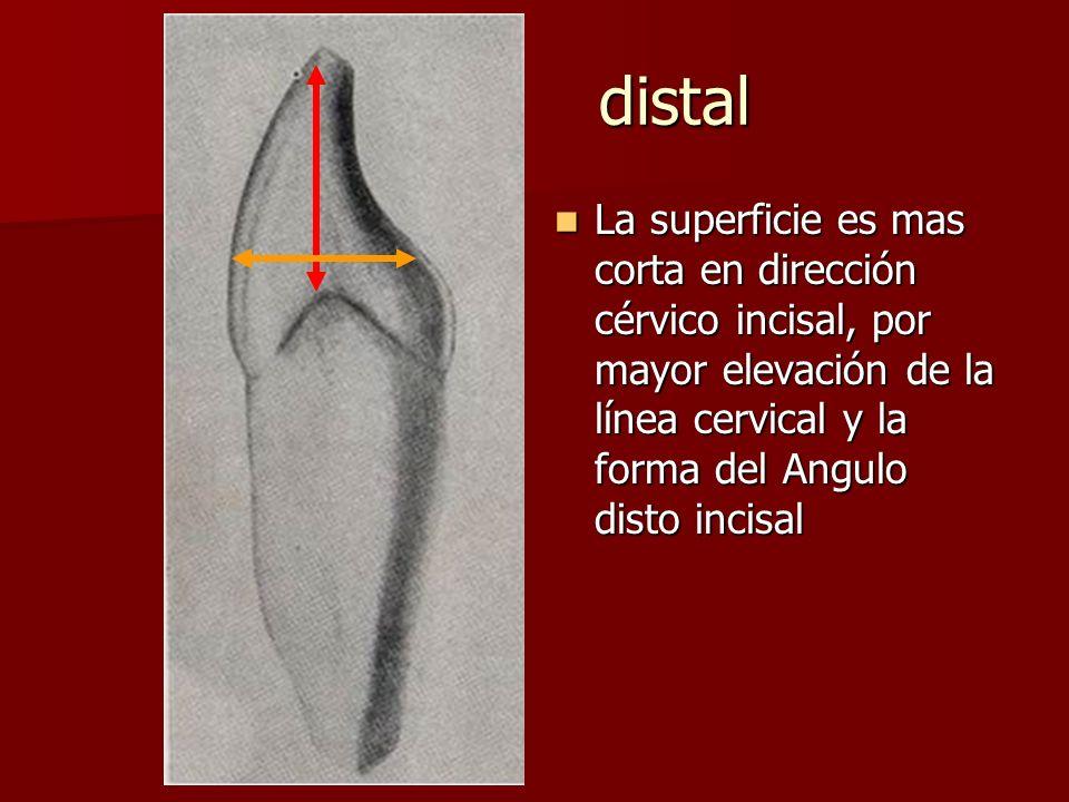 distal La superficie es mas corta en dirección cérvico incisal, por mayor elevación de la línea cervical y la forma del Angulo disto incisal La superficie es mas corta en dirección cérvico incisal, por mayor elevación de la línea cervical y la forma del Angulo disto incisal