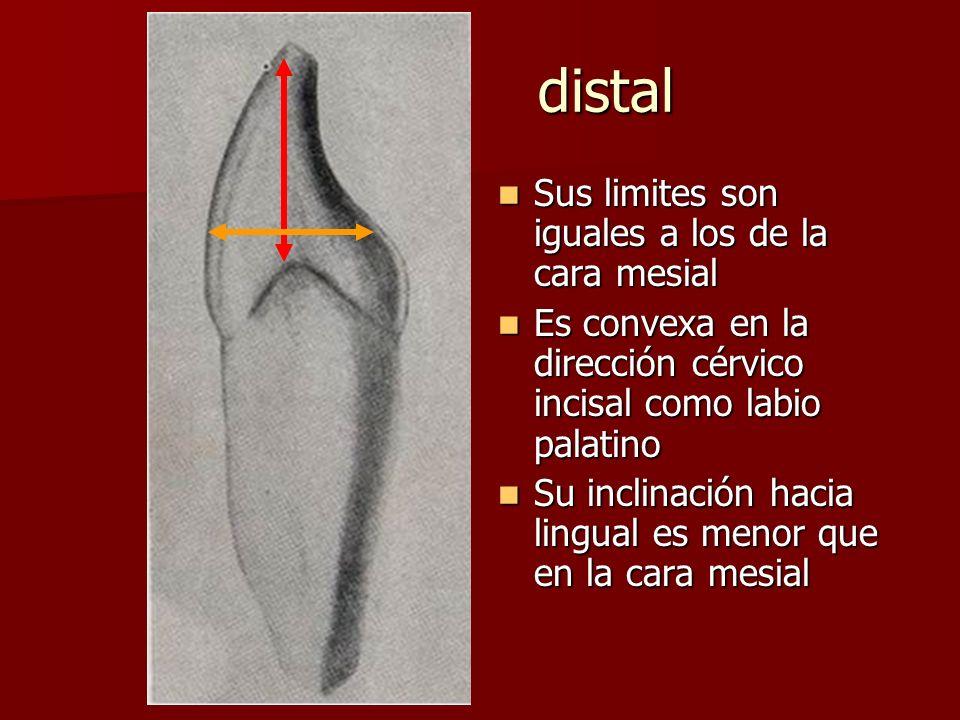 distal Sus limites son iguales a los de la cara mesial Sus limites son iguales a los de la cara mesial Es convexa en la dirección cérvico incisal como