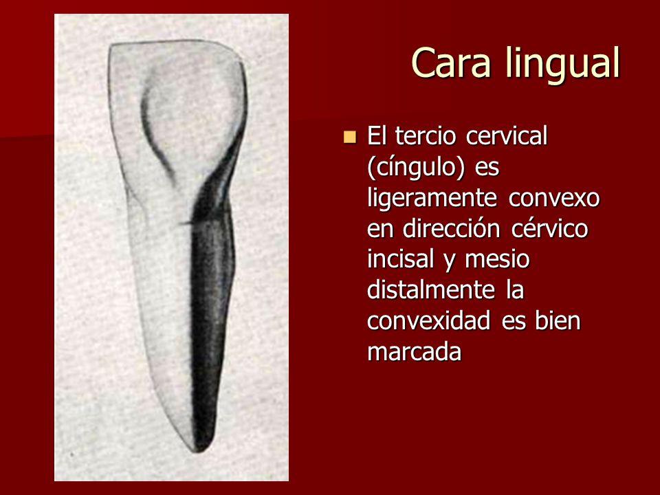 Cara lingual El tercio cervical (cíngulo) es ligeramente convexo en dirección cérvico incisal y mesio distalmente la convexidad es bien marcada El tercio cervical (cíngulo) es ligeramente convexo en dirección cérvico incisal y mesio distalmente la convexidad es bien marcada