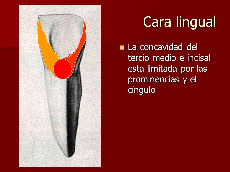 Cara lingual La concavidad del tercio medio e incisal esta limitada por las prominencias y el cíngulo La concavidad del tercio medio e incisal esta limitada por las prominencias y el cíngulo