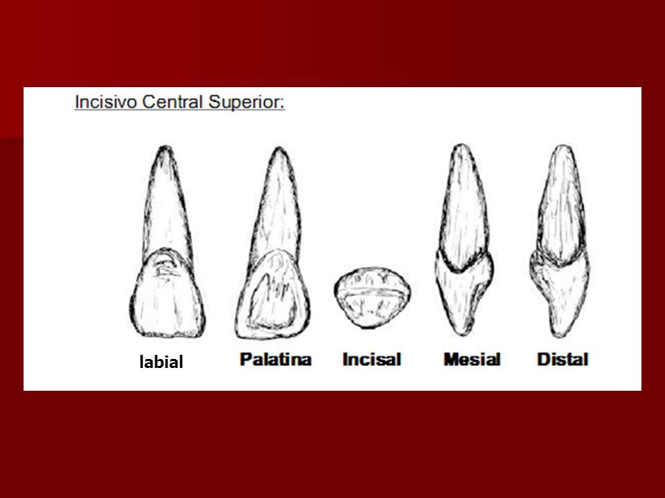 Cara labial En cervical es liso y se incrementa su convexidad en sentido cérvico incisal En cervical es liso y se incrementa su convexidad en sentido cérvico incisal
