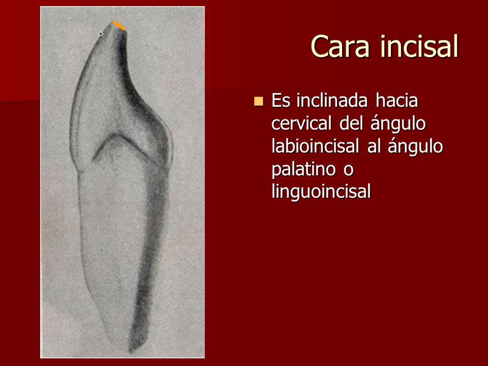 Cara incisal Es inclinada hacia cervical del ángulo labioincisal al ángulo palatino o linguoincisal Es inclinada hacia cervical del ángulo labioincisal al ángulo palatino o linguoincisal