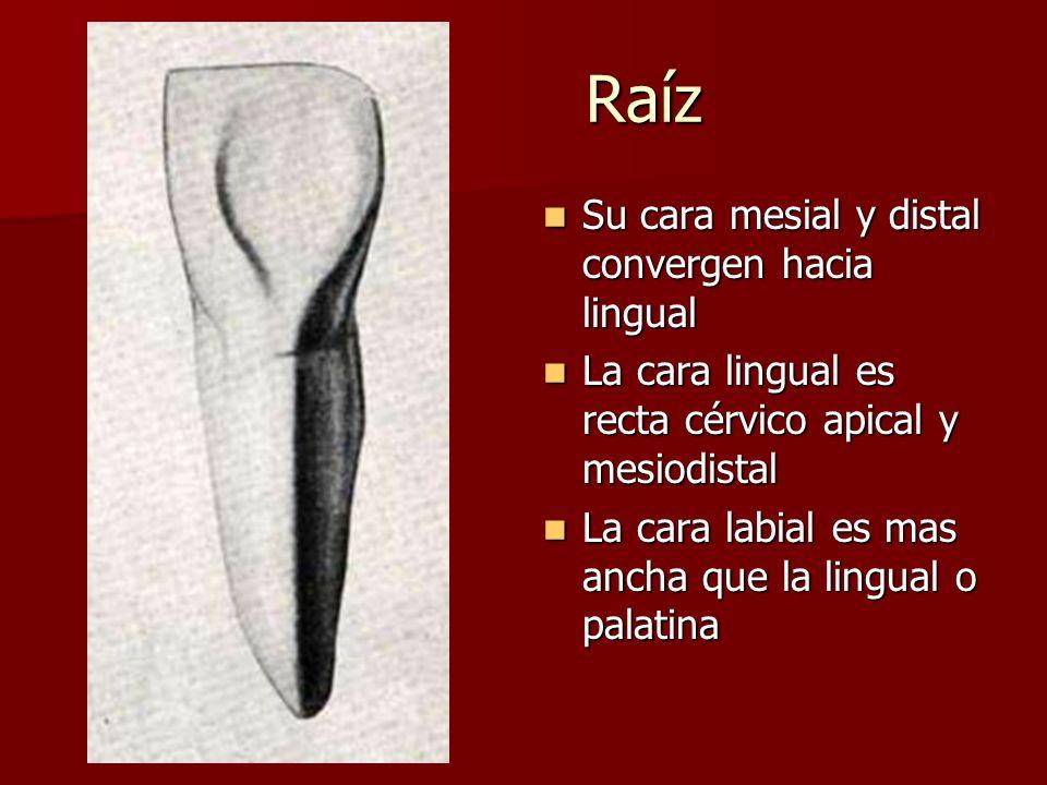 Raíz Raíz Su cara mesial y distal convergen hacia lingual Su cara mesial y distal convergen hacia lingual La cara lingual es recta cérvico apical y me