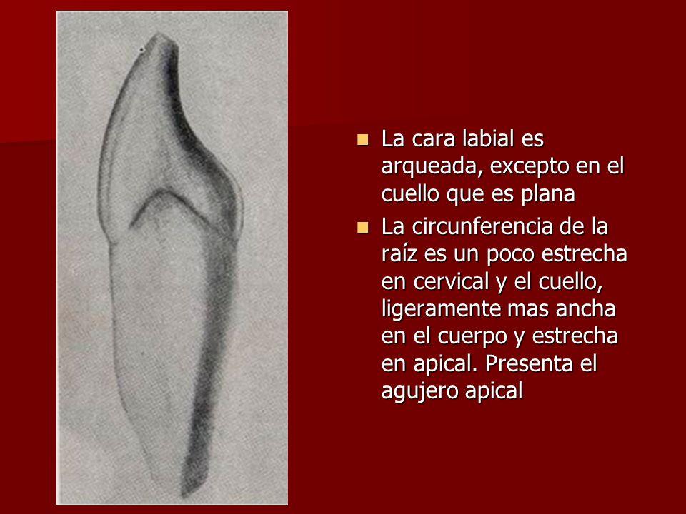La cara labial es arqueada, excepto en el cuello que es plana La cara labial es arqueada, excepto en el cuello que es plana La circunferencia de la raíz es un poco estrecha en cervical y el cuello, ligeramente mas ancha en el cuerpo y estrecha en apical.