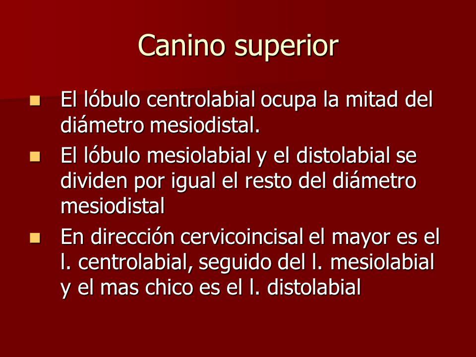 Canino superior El lóbulo centrolabial ocupa la mitad del diámetro mesiodistal. El lóbulo centrolabial ocupa la mitad del diámetro mesiodistal. El lób
