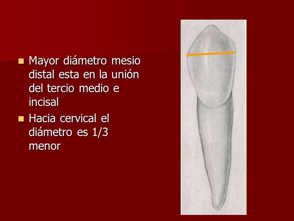 Mayor diámetro mesio distal esta en la unión del tercio medio e incisal Mayor diámetro mesio distal esta en la unión del tercio medio e incisal Hacia cervical el diámetro es 1/3 menor Hacia cervical el diámetro es 1/3 menor
