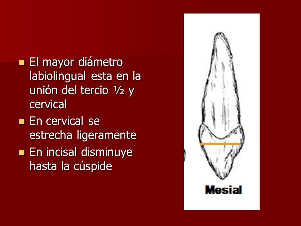 El mayor diámetro labiolingual esta en la unión del tercio ½ y cervical El mayor diámetro labiolingual esta en la unión del tercio ½ y cervical En cervical se estrecha ligeramente En cervical se estrecha ligeramente En incisal disminuye hasta la cúspide En incisal disminuye hasta la cúspide