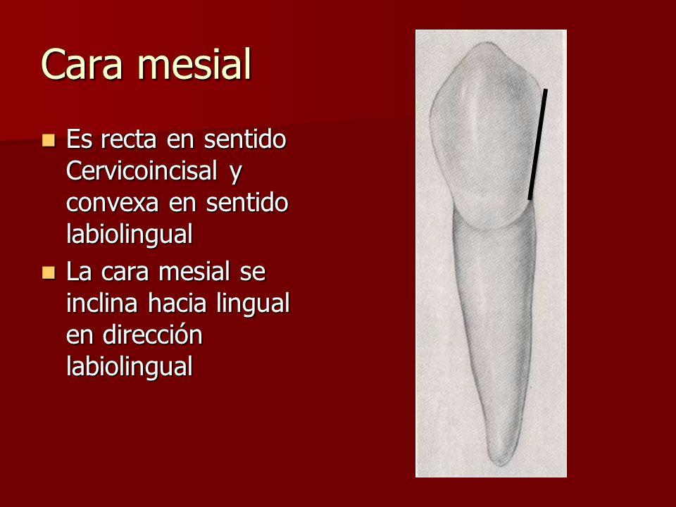 Cara mesial Es recta en sentido Cervicoincisal y convexa en sentido labiolingual Es recta en sentido Cervicoincisal y convexa en sentido labiolingual