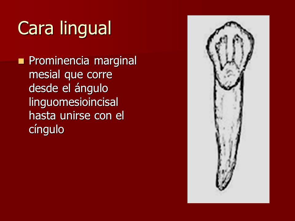 Cara lingual Prominencia marginal mesial que corre desde el ángulo linguomesioincisal hasta unirse con el cíngulo Prominencia marginal mesial que corre desde el ángulo linguomesioincisal hasta unirse con el cíngulo