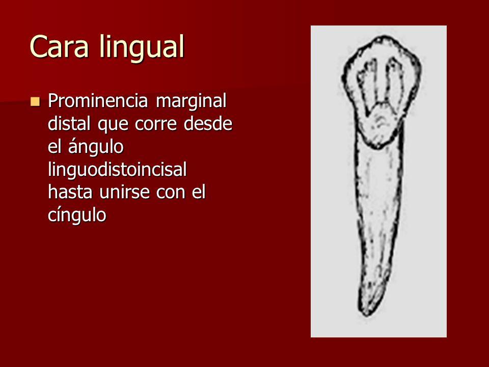 Cara lingual Prominencia marginal distal que corre desde el ángulo linguodistoincisal hasta unirse con el cíngulo Prominencia marginal distal que corre desde el ángulo linguodistoincisal hasta unirse con el cíngulo