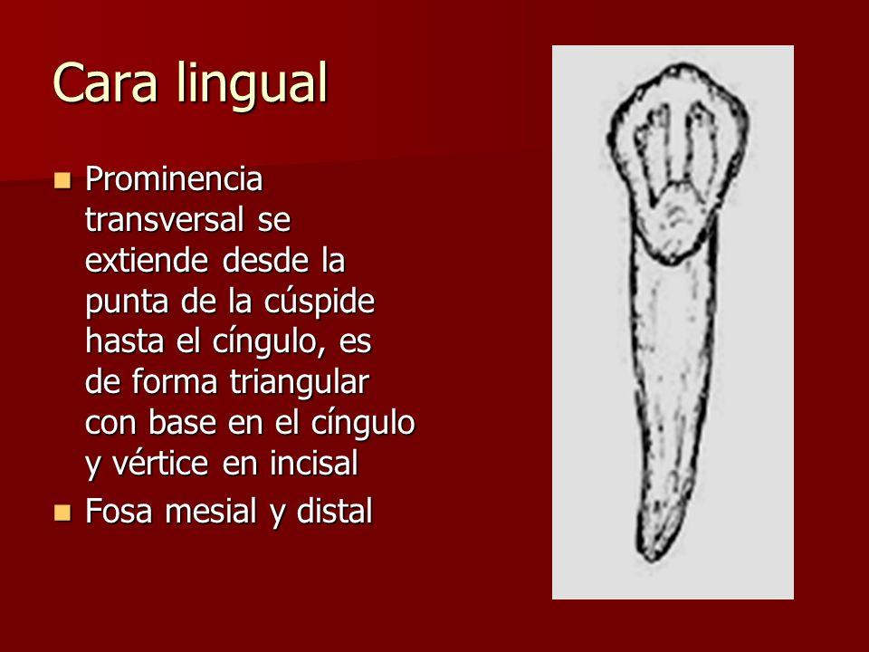 Cara lingual Prominencia transversal se extiende desde la punta de la cúspide hasta el cíngulo, es de forma triangular con base en el cíngulo y vértice en incisal Prominencia transversal se extiende desde la punta de la cúspide hasta el cíngulo, es de forma triangular con base en el cíngulo y vértice en incisal Fosa mesial y distal Fosa mesial y distal