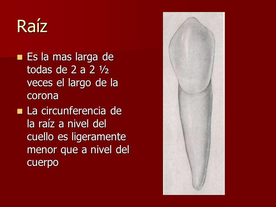 Raíz Es la mas larga de todas de 2 a 2 ½ veces el largo de la corona Es la mas larga de todas de 2 a 2 ½ veces el largo de la corona La circunferencia de la raíz a nivel del cuello es ligeramente menor que a nivel del cuerpo La circunferencia de la raíz a nivel del cuello es ligeramente menor que a nivel del cuerpo