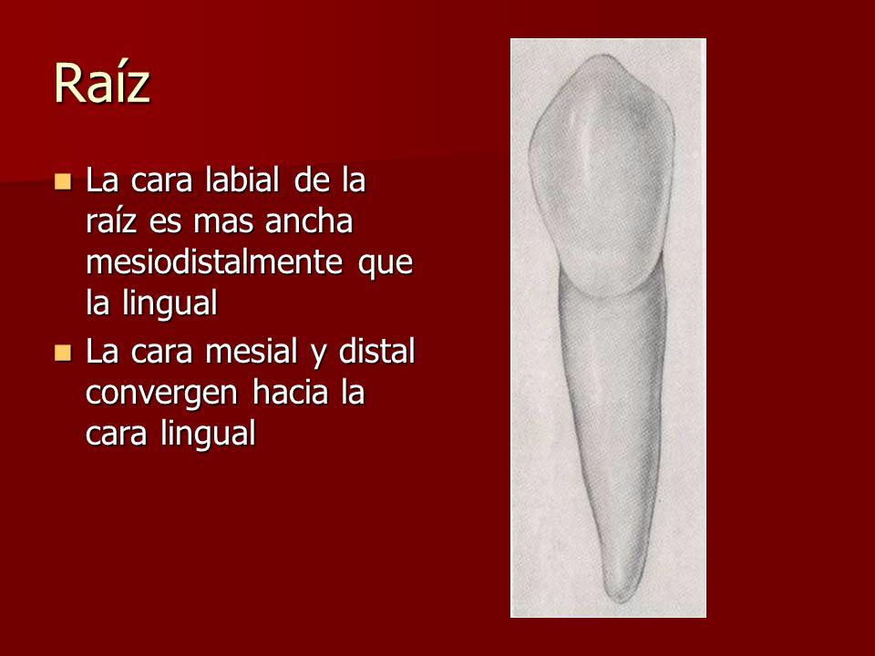 Raíz La cara labial de la raíz es mas ancha mesiodistalmente que la lingual La cara labial de la raíz es mas ancha mesiodistalmente que la lingual La cara mesial y distal convergen hacia la cara lingual La cara mesial y distal convergen hacia la cara lingual