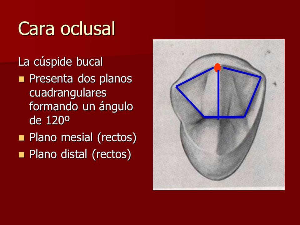 Cara oclusal La cúspide bucal Presenta dos planos cuadrangulares formando un ángulo de 120º Presenta dos planos cuadrangulares formando un ángulo de 120º Plano mesial (rectos) Plano mesial (rectos) Plano distal (rectos) Plano distal (rectos)