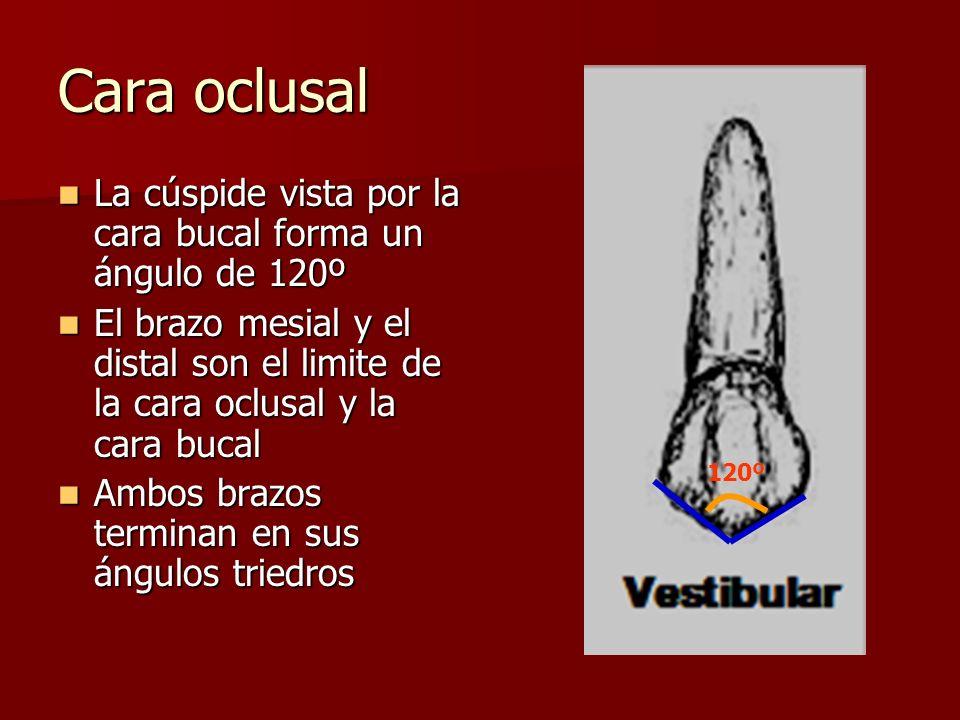 Cara oclusal La cúspide vista por la cara bucal forma un ángulo de 120º La cúspide vista por la cara bucal forma un ángulo de 120º El brazo mesial y e