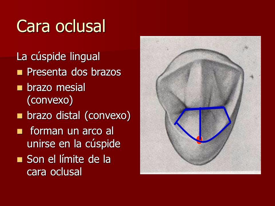 Cara oclusal La cúspide lingual Presenta dos brazos Presenta dos brazos brazo mesial (convexo) brazo mesial (convexo) brazo distal (convexo) brazo dis