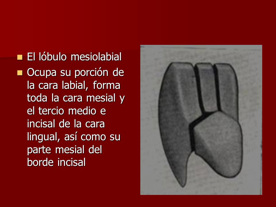 El lóbulo mesiolabial El lóbulo mesiolabial Ocupa su porción de la cara labial, forma toda la cara mesial y el tercio medio e incisal de la cara lingual, así como su parte mesial del borde incisal Ocupa su porción de la cara labial, forma toda la cara mesial y el tercio medio e incisal de la cara lingual, así como su parte mesial del borde incisal