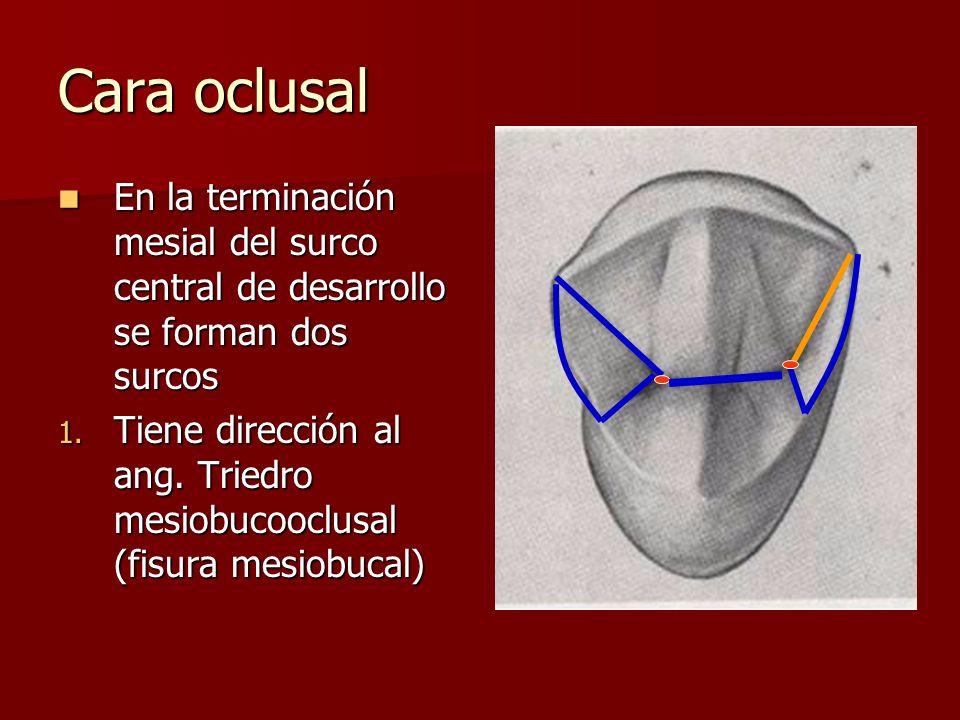 Cara oclusal En la terminación mesial del surco central de desarrollo se forman dos surcos En la terminación mesial del surco central de desarrollo se forman dos surcos 1.