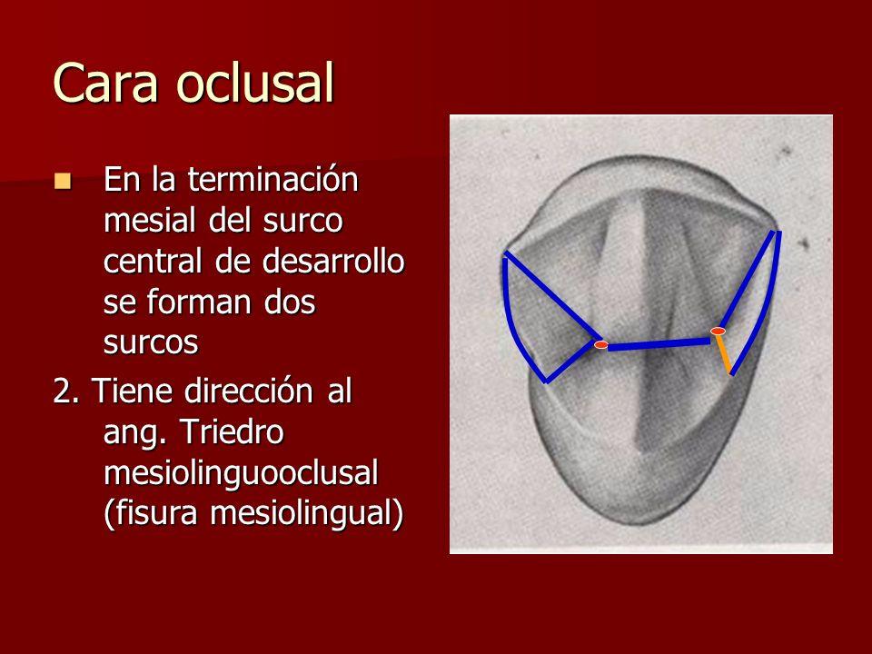 Cara oclusal En la terminación mesial del surco central de desarrollo se forman dos surcos En la terminación mesial del surco central de desarrollo se forman dos surcos 2.