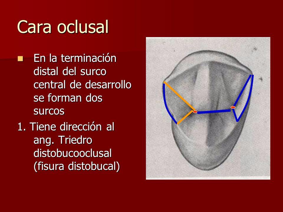 Cara oclusal En la terminación distal del surco central de desarrollo se forman dos surcos En la terminación distal del surco central de desarrollo se forman dos surcos 1.