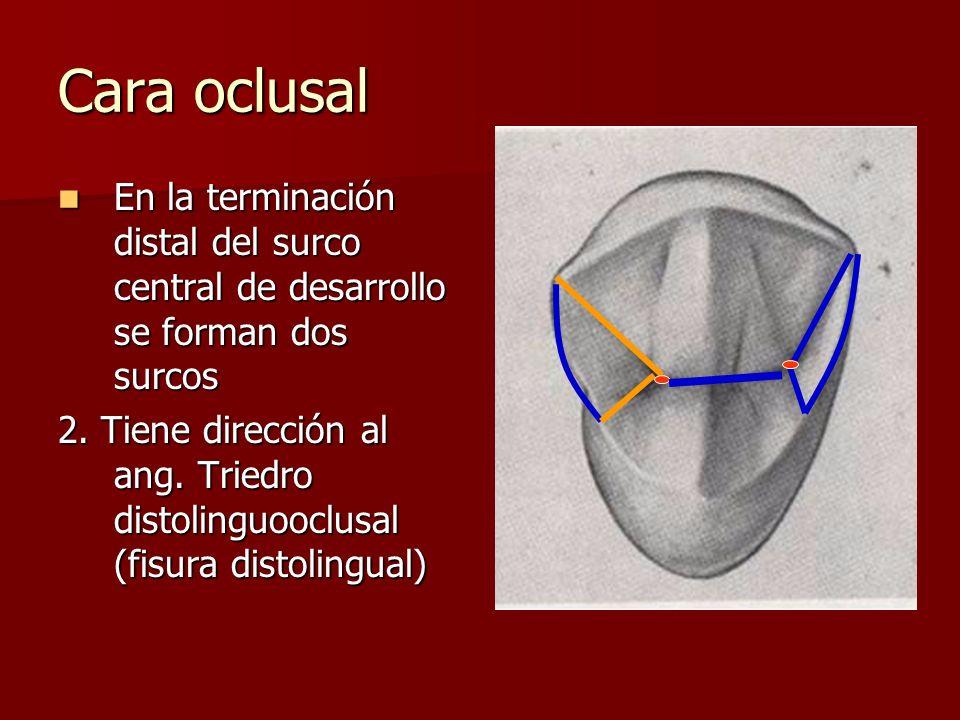 Cara oclusal En la terminación distal del surco central de desarrollo se forman dos surcos En la terminación distal del surco central de desarrollo se forman dos surcos 2.