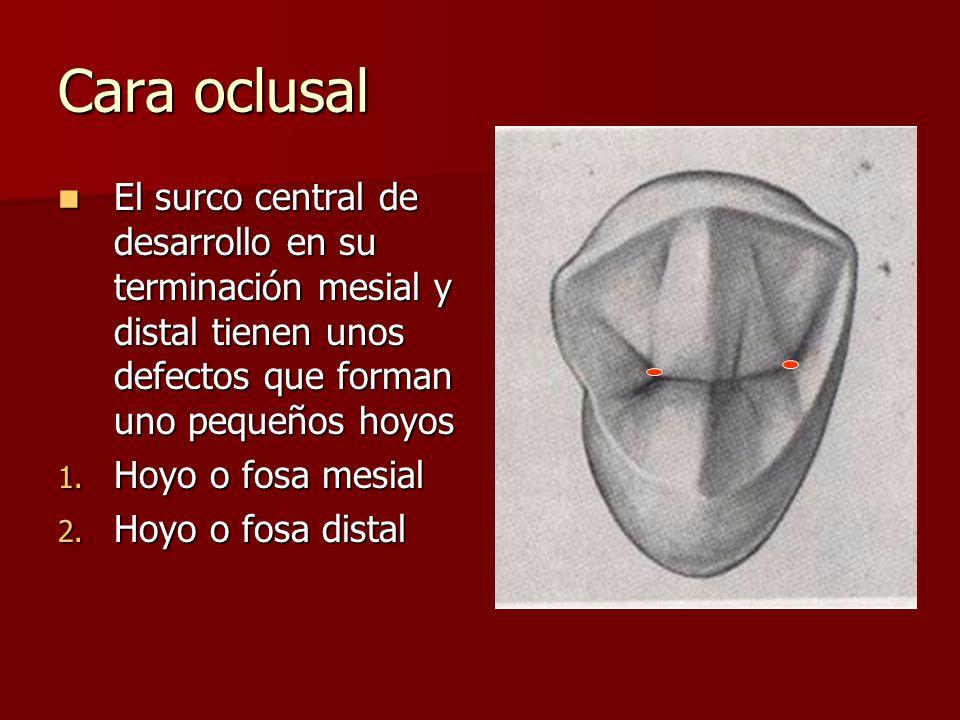 Cara oclusal El surco central de desarrollo en su terminación mesial y distal tienen unos defectos que forman uno pequeños hoyos El surco central de desarrollo en su terminación mesial y distal tienen unos defectos que forman uno pequeños hoyos 1.