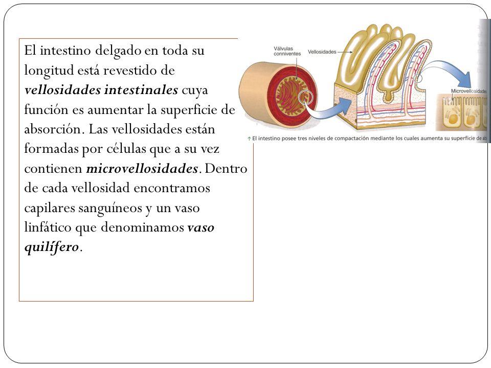 El intestino delgado en toda su longitud está revestido de vellosidades intestinales cuya función es aumentar la superficie de absorción. Las vellosid