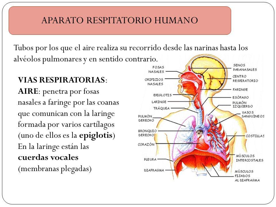 APARATO RESPITATORIO HUMANO Tubos por los que el aire realiza su recorrido desde las narinas hasta los alvéolos pulmonares y en sentido contrario. VIA