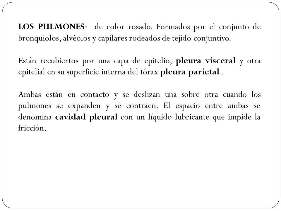 LOS PULMONES: de color rosado. Formados por el conjunto de bronquiolos, alvéolos y capilares rodeados de tejido conjuntivo. Están recubiertos por una