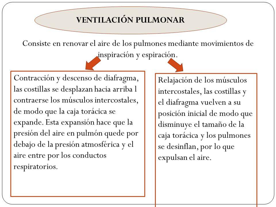 VENTILACIÓN PULMONAR Consiste en renovar el aire de los pulmones mediante movimientos de inspiración y espiración. Contracción y descenso de diafragma