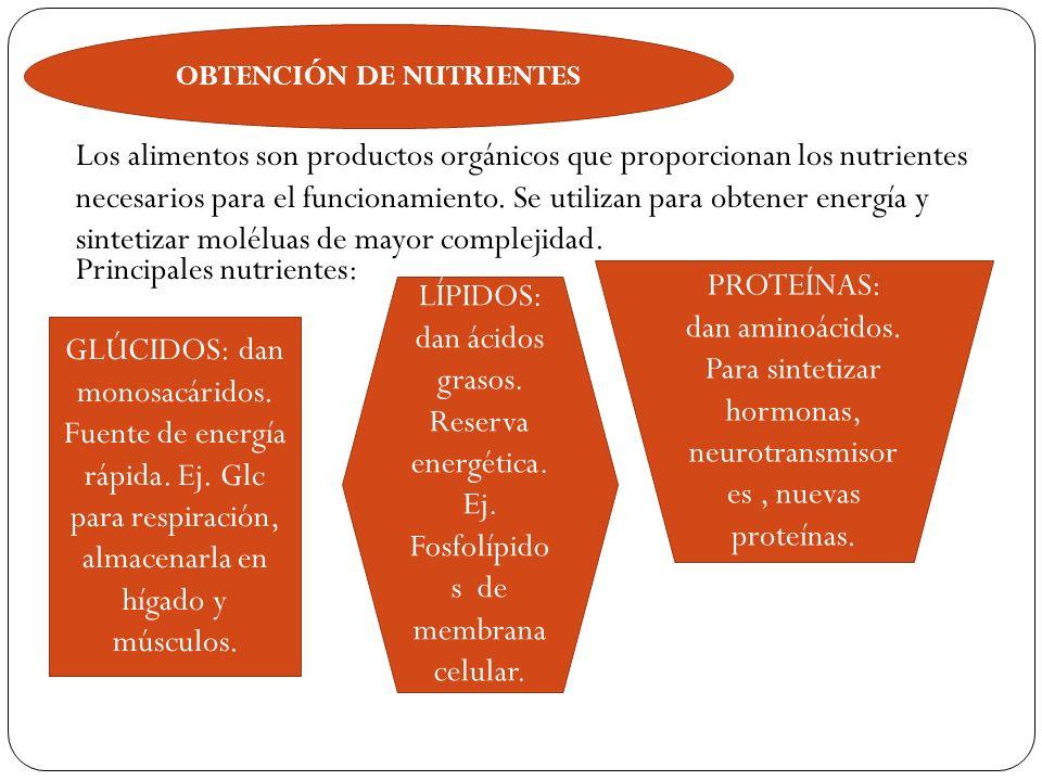 OBTENCIÓN DE NUTRIENTES Los alimentos son productos orgánicos que proporcionan los nutrientes necesarios para el funcionamiento. Se utilizan para obte