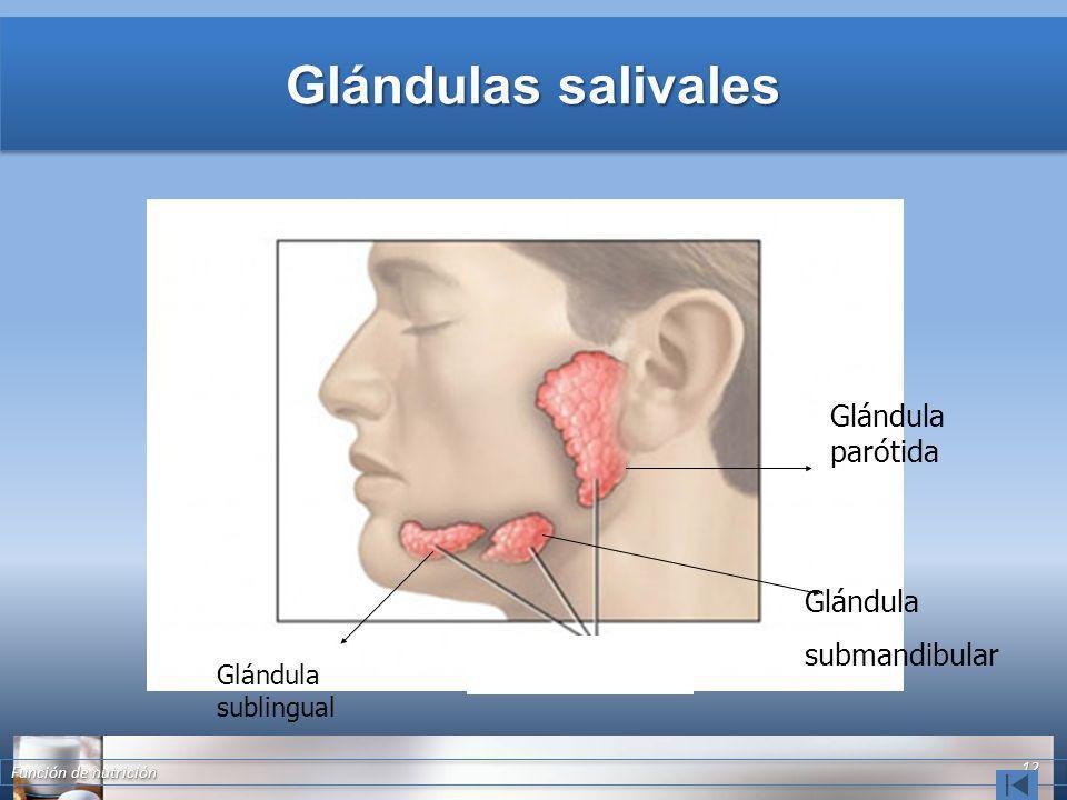 Glándulas salivales Función de nutrición 12 Glándula parótida Glándula submandibular Glándula sublingual