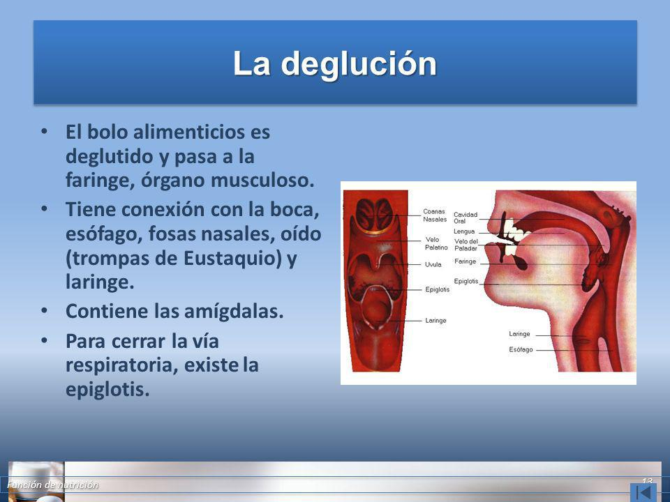 La deglución El bolo alimenticios es deglutido y pasa a la faringe, órgano musculoso. Tiene conexión con la boca, esófago, fosas nasales, oído (trompa