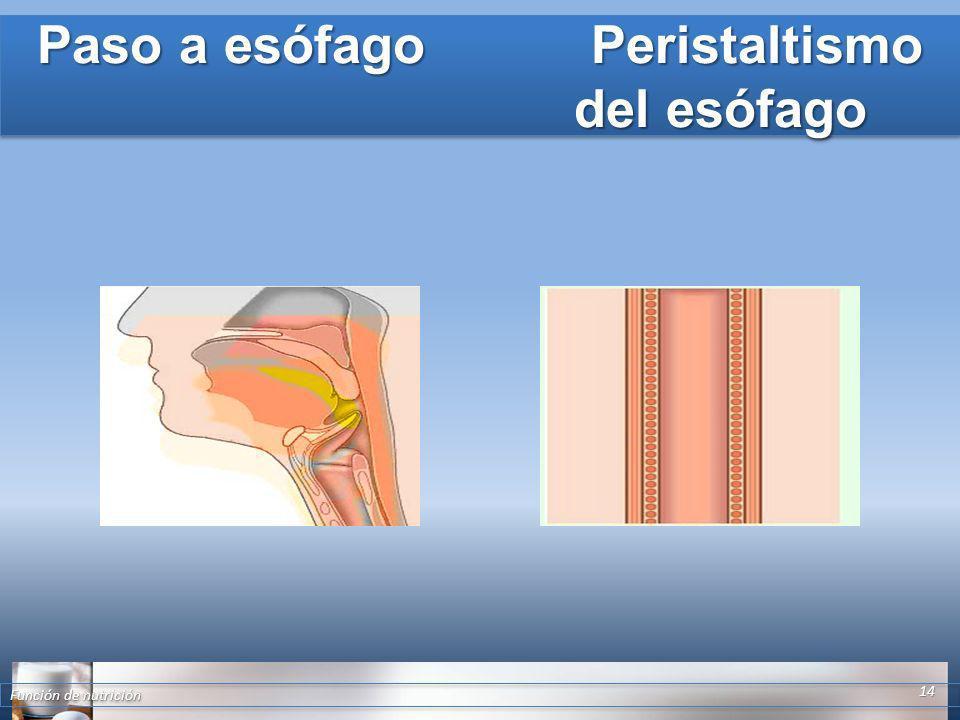 Paso a esófago Peristaltismo del esófago Función de nutrición 14
