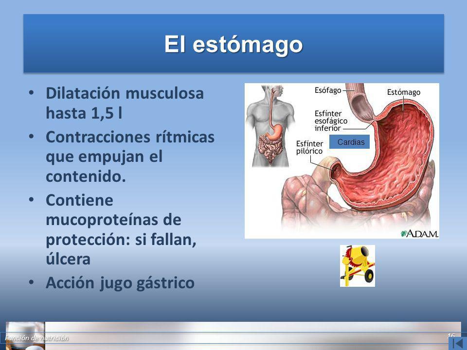 El estómago Dilatación musculosa hasta 1,5 l Contracciones rítmicas que empujan el contenido. Contiene mucoproteínas de protección: si fallan, úlcera