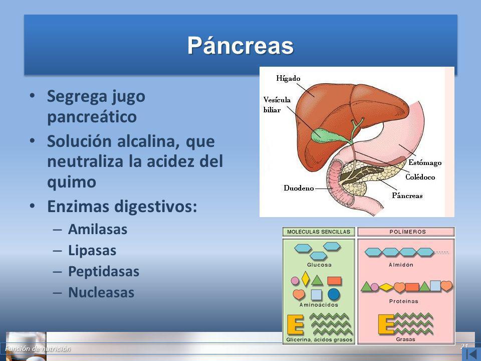 PáncreasPáncreas Segrega jugo pancreático Solución alcalina, que neutraliza la acidez del quimo Enzimas digestivos: – Amilasas – Lipasas – Peptidasas