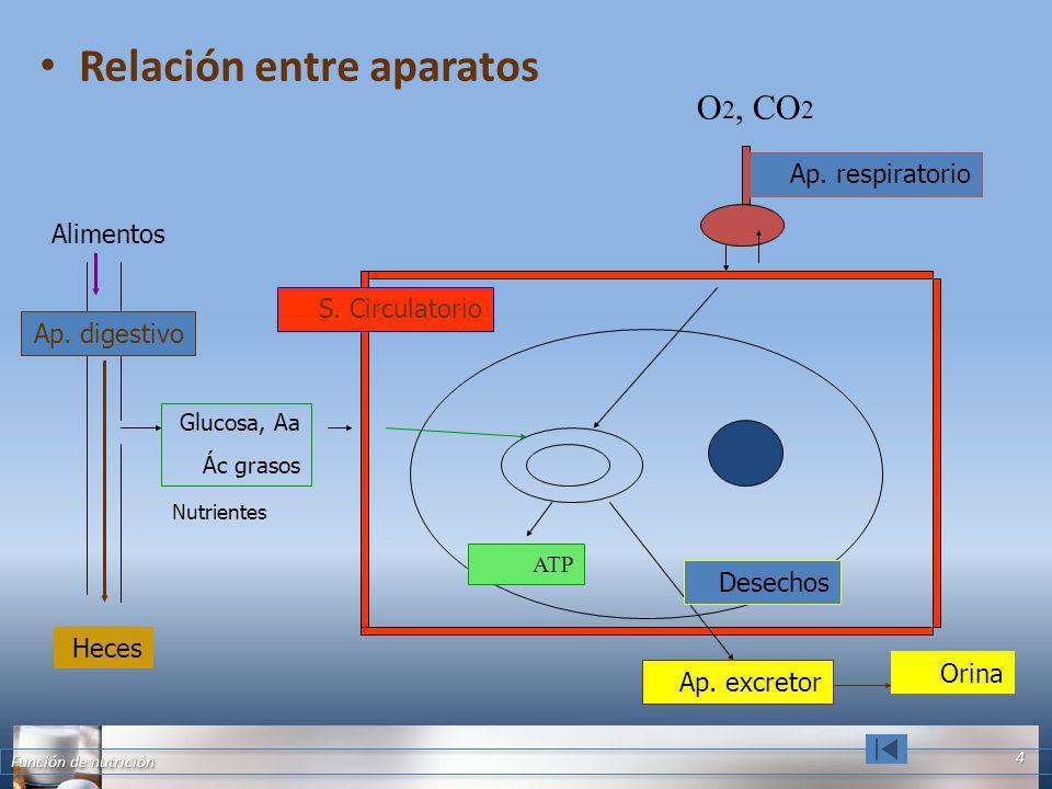 Relación entre aparatos Función de nutrición 4 Alimentos Ap. digestivo Nutrientes Glucosa, Aa Ác grasos S. Circulatorio O 2, CO 2 Ap. respiratorio Hec