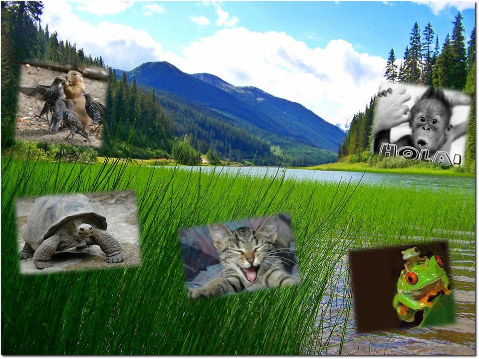 ALIMENTACION Los felinos al estar ubicados en el extremo mas alto de la cadena alimentaria no suelen tener predadores.